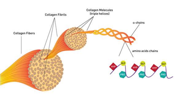 למעלה ניתן לראות איך סיבי קולגן מתאגדים יחדיו ליצירת גיד