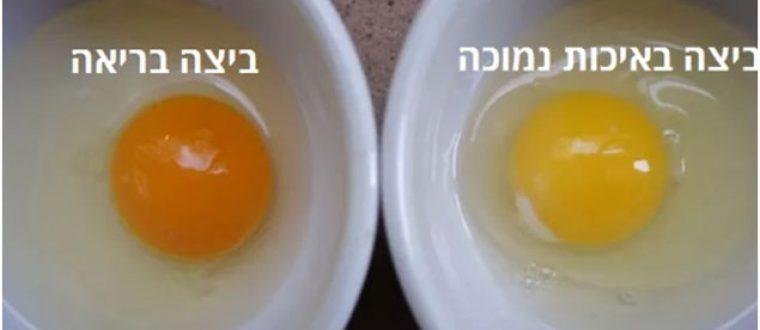 ביצה ותרנגולת